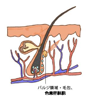バルジ領域・毛包、色素幹細胞
